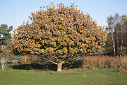 Small oak tree with brown autumnal leaves ready to drop, Tunstall Common, Suffolk, England