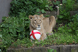 Image ©Licensed to i-Images Picture Agency. 12/06/2014. London, United Kingdom. Three lions play with England ball ahead of the World Cup. One of three Asian lions play with a football stuffed with meaty treats to show their support for the England team ahead of their first game on Saturday evening. ZSL London Zoo. Picture by Daniel Leal-Olivas / i-Images