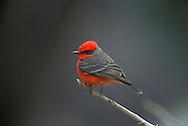 Vermilion Flycatcher perched