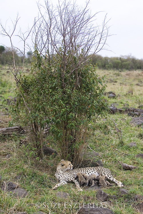 Cheetah<br /> Acinonyx jubatus<br /> Mother and 9 day old cubs in nest<br /> Maasai Mara Reserve, Kenya