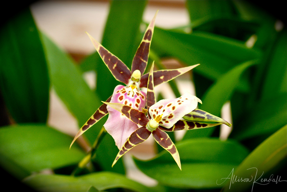 A pair of mottled speckled brown, pink and yellow orchid flowers shaped like falling stars