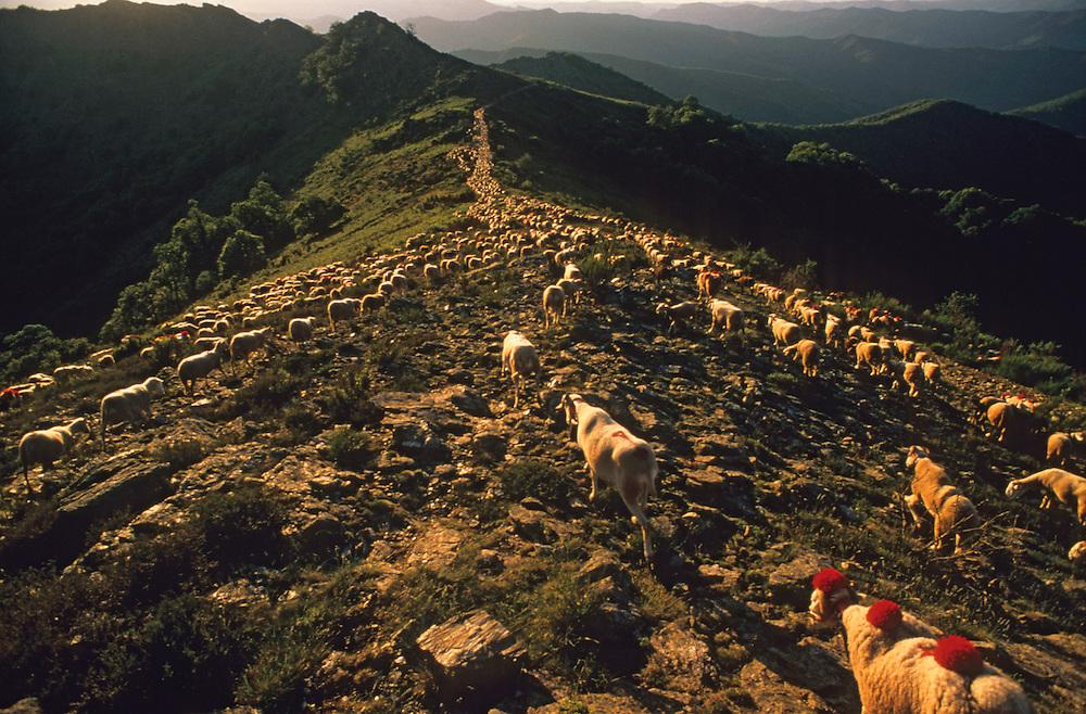 France, Languedoc Roussillon, Gard, Lozère, Cévennes, Aigoual, col de l'Asclier, transhumance des moutons
