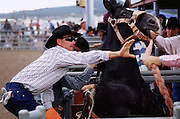 06 AUGUST 2000 - WILLIAMS, AZ:  Chute workers try to calm a bucking horse in the chutes at the 22nd Annual Cowpunchers' Reunion Rodeo in Williams, Arizona, Aug 6.  The Cowpunchers' Reunion Rodeo is held for working cowboys from the ranches in Arizona and the region. PHOTO BY JACK KURTZ