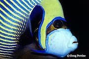 emperor angelfish, Pomacanthus imperator (c), showing teeth, Thailand