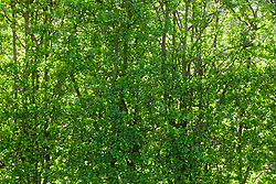 New fresh green leaves of hawthorn hedge in spring. Crataegus monogyna