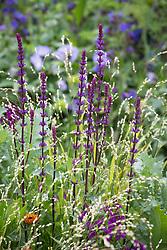 Salvia nemorosa 'Caradonna' AGM syn. Salvia × sylvestris 'Caradonna'.<br /> Balkan clary with Melica altissima 'Alba'