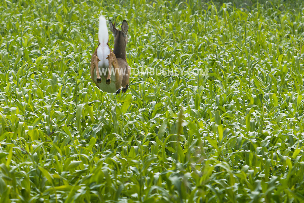 Hamptonburgh, New York  - A white-tailed deer runs through a cornfield  on Sept. 29, 2013.