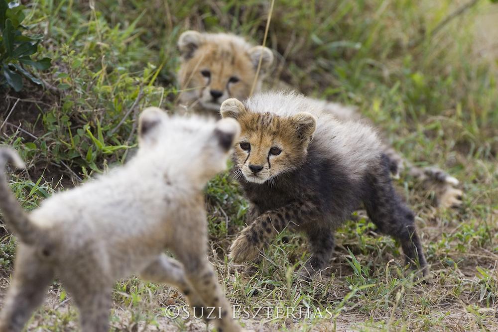 Cheetah<br /> Acinonyx jubatus<br /> 8 week old cub(s) playing<br /> Maasai Mara Reserve, Kenya