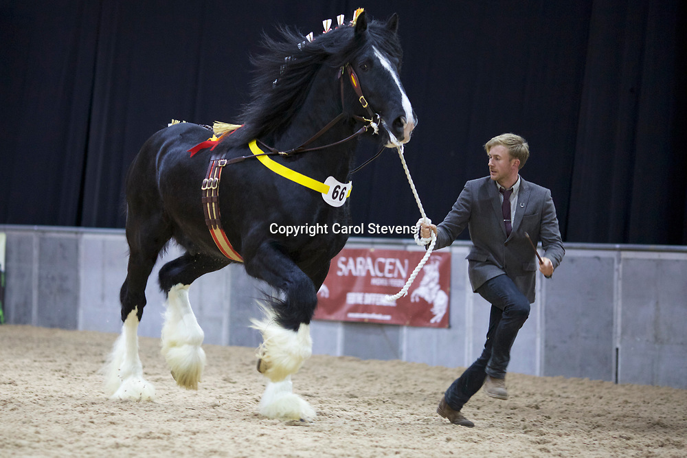 Richard &amp; Robert Bedford's ROOKHILLS LEAPLEY LAD  f 2012  (No.66) <br /> Sire  Cae Mawr Aristocrat<br /> Dam  Red Brae Susanna<br /> 2nd  Stallions 5 years &amp; upwards