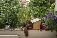 Raubtiere Raubtiere zu Besuch – der<br /> Eichhörnchen-Futterkasten. Da ist es! Wie von Silke Walfeld versprochen, lässt sich ein Eichhörnchen<br /> am Futterkasten blicken.
