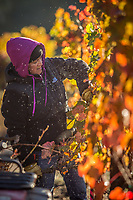 Frost is released into the early morning air as Ana Baltazar removes dead vines at Boeschen Vineyards near Saint Helena, CA anabbaltazar@gmail.com