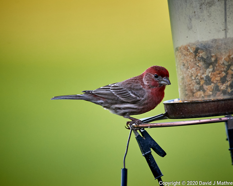 Male House Finch. Image taken with a Nikon D5 camera and 600 mm f/4 VR lens (ISO 1600, 600 mm, f/5.6, 1/500 sec).
