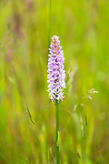 Pyramidal Orchid, Anacamptis pyramidalis, perennial herbaceous plant in bloom in Oxfordshire, UK