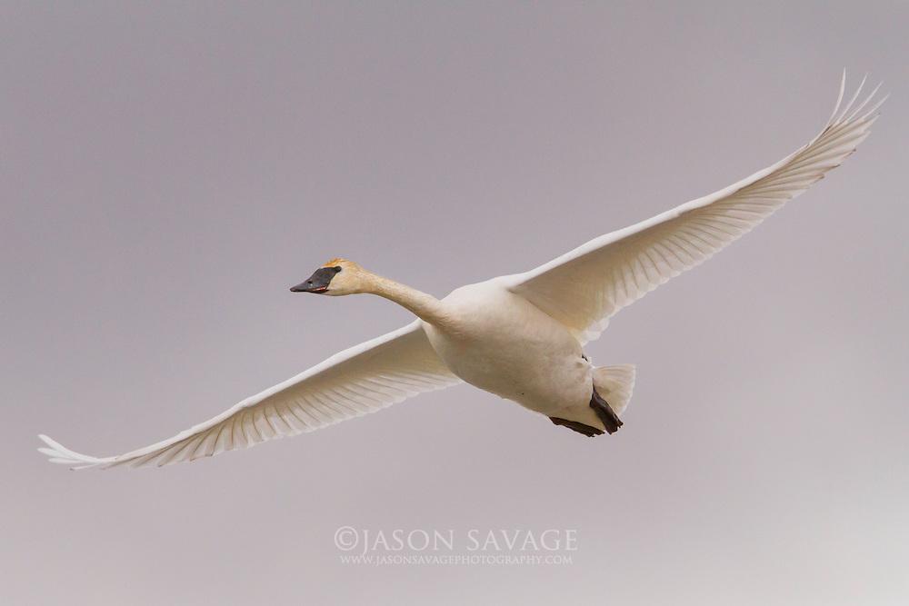 Trumpeter Swan near Lake Helena, Montana.
