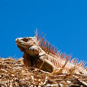 Iguana on palapa.Cozumel, Quintana Roo..Mexico