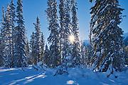 Sun streaking through coniferous trees, Kootenay National Park, British Columbia, Canada