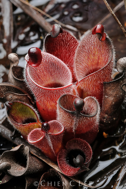 An unusually hairy pitcher plant (Heliamphora minor var. pilosa), endemic to Auyan Tepui.
