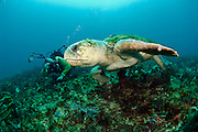 Scuba diver and Loggerhead Sea Turtle, Caretta caretta, in Palm Beach County, Florida.