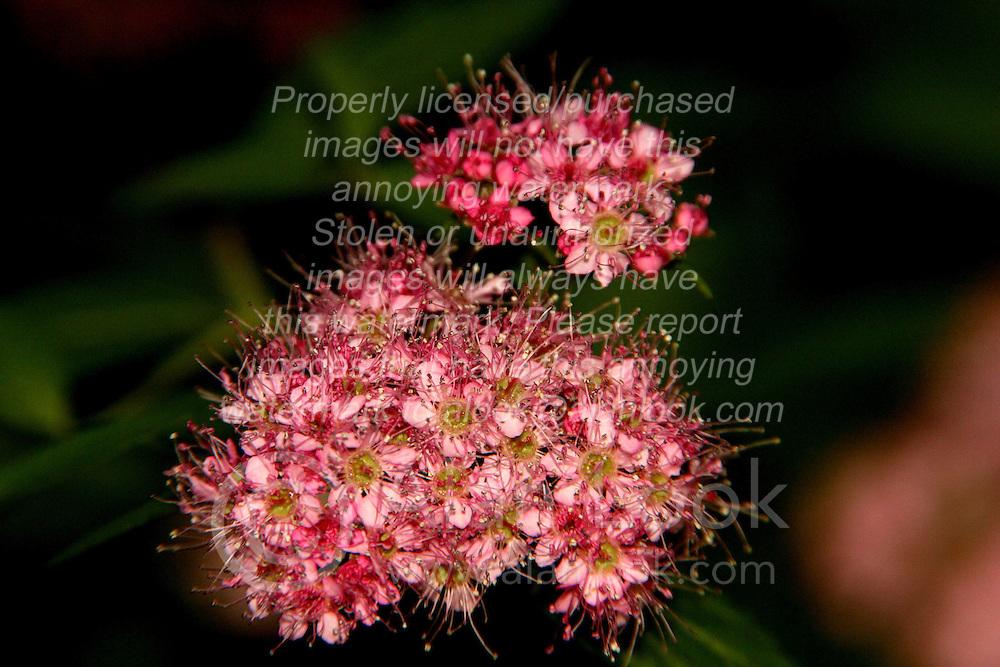 01 June 2007: Shots from the backyard, flowering shrub, pick flower