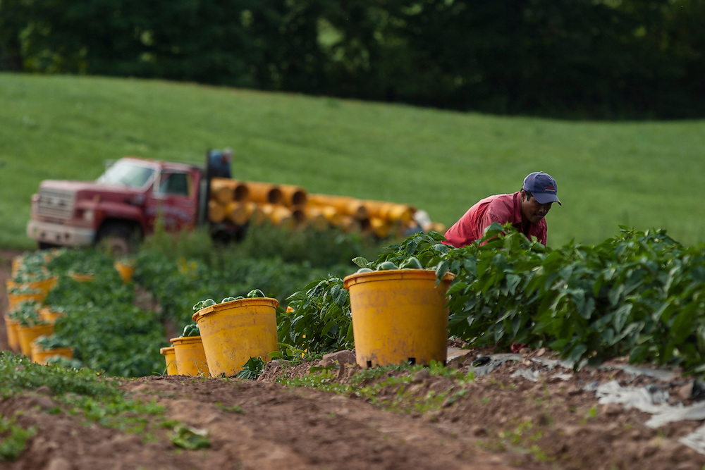 CT farming agriculture harvest peppers migrants workers fields lush green gardens vegetables