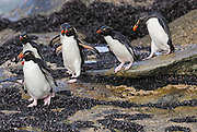 Rockhopper penguins nest in steep rocky places Rockhopper penguins Hop from rock to rock.
