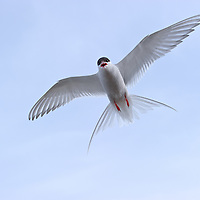 Arctic Tern defending nest.