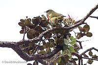 Common amakihi feeding in an ʻōhiʻa lehua (Metrosideros polymorpha) tree, big island of Hawaii.