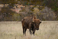 This bison was grazing alone in a prairie in Wind Cave National Park.