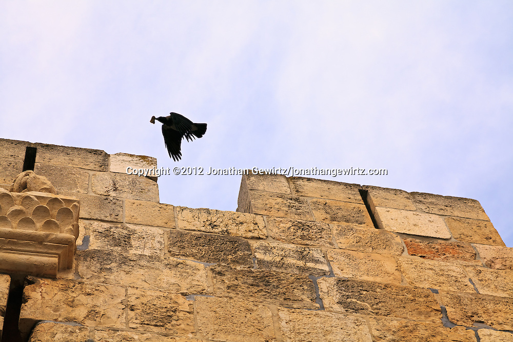A crow or raven flies over a section of the stone exterior wall of the Old City of Jerusalem.