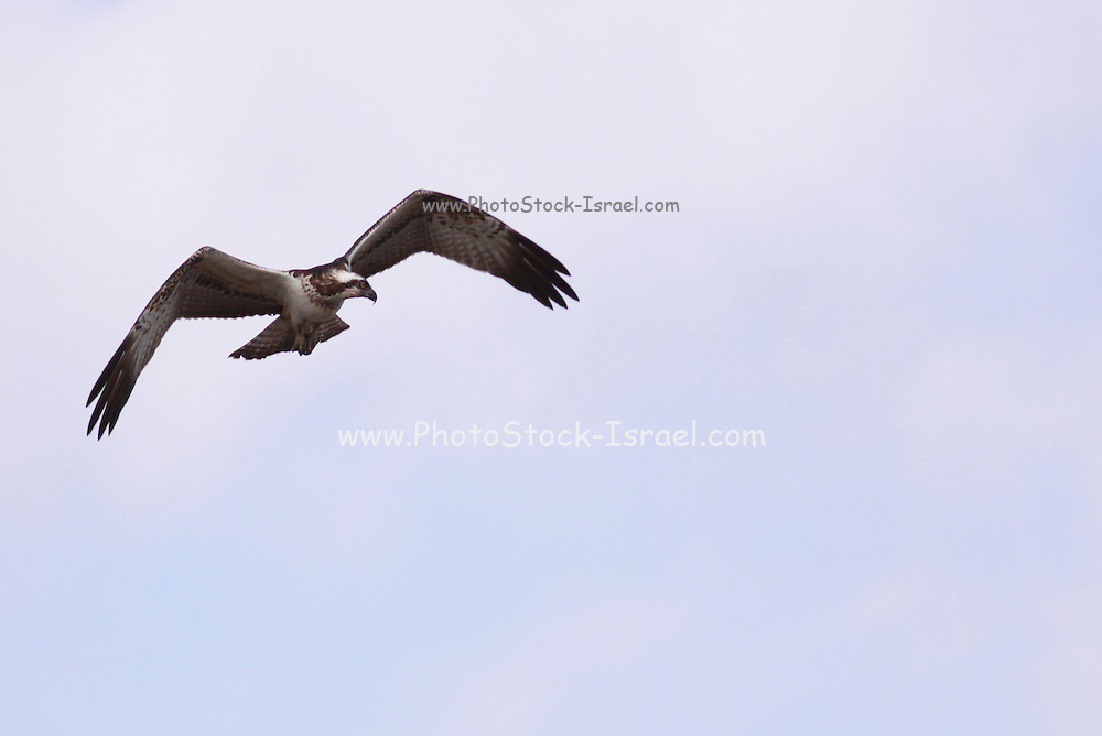 Osprey (Pandion haliaetus). This bird of prey is 60 centimetres long and has a 180 centimetre wingspan. It feeds exclusively on fish. Photographed in Israel in October