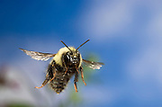 A bumble bee (Bombus sp. [possibly Bombus vegans]) in flight. Deschutes National Forest, Oregon.