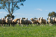 Flock of white suffolk sheep ewes in farm paddock in rural country Victoria, Australia. <br />