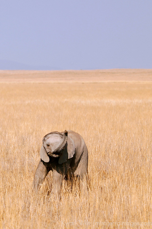 Africa, Kenya, Amboseli. Baby Elephant of Amboseli.