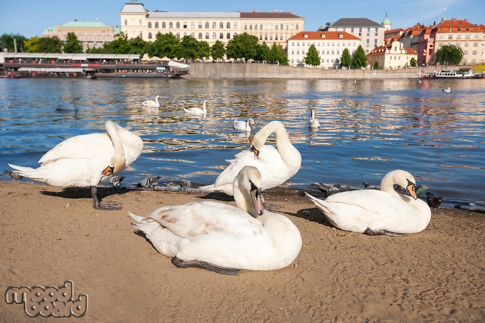 Swans by Vltava River; Prague; Czech Republic