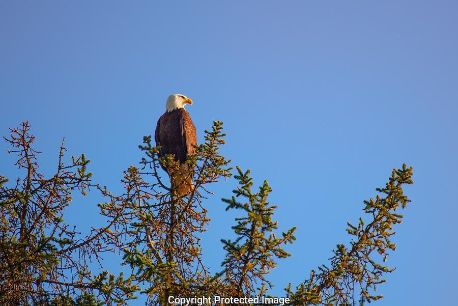 The morning light highlighted the eagle's feathers and gave a warm cast to his feathers.