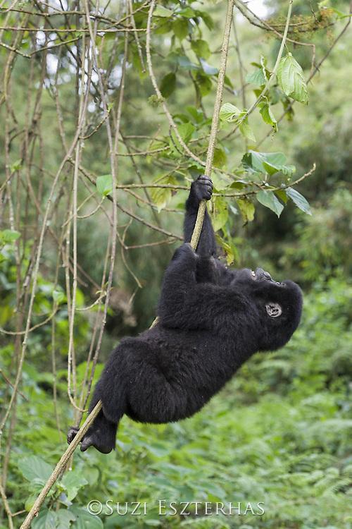 Mountain Gorilla<br /> Gorilla gorilla beringei<br /> Juvenile climbing vine<br /> Parc National des Volcans, Rwanda<br /> *Endangered species