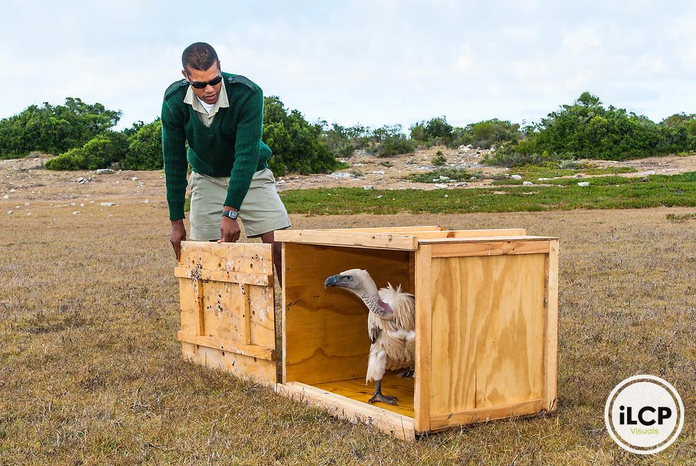 Cape Vulture release after rehabilitation, De Hoop Nature Reserve, South Africa
