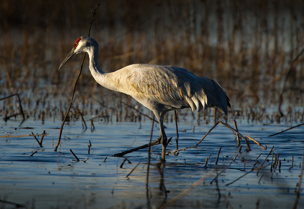 The Greater Sandhill Crane rests in the water of the Cosumnes Game Preserve. November 2, 2011.