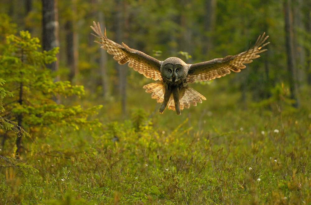 Great Grey Owl, Strix nebulosa, Kuhmo, Finland