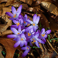 Early Purple Crocuses -- Spring is Coming. Image taken with a Nikon 1 V1 and 10-100 mm lens (ISO 100, 53 mm, f/5.6, 1/320 sec).
