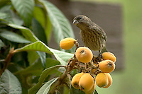 Female House Finch (Carpodacus mexicanus) Perched on Tree Eating Chinese Loquat Fruit, Southern California