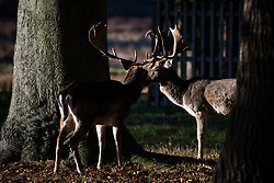 © Licensed to London News Pictures. 13/11/2017. London, UK. Deer at sunrise on a cold autumnal morning in Bushy Park. Forecasters predicted subzero overnight temperatures, the coldest night of the autumn so far. Photo credit: Rob Pinney/LNP