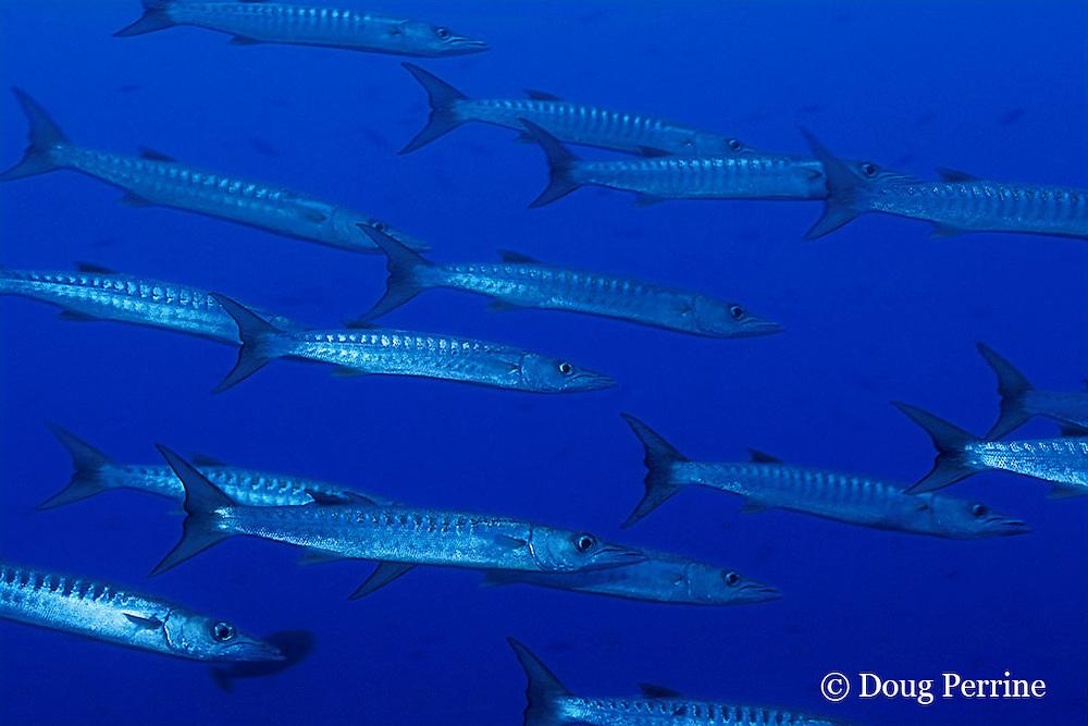 blackfin barracuda, Sphyraena qenie, Fathers Islands off New Britain, Papua New Guinea ( Bismarck Sea )