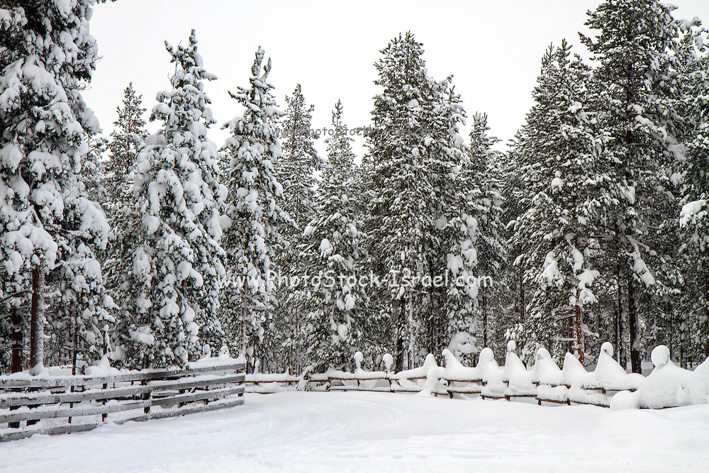 Lapland, Scandinavia, a landscape of snow covered trees