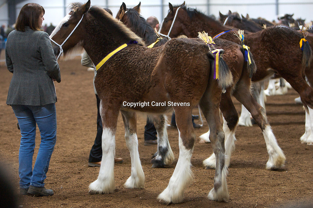 North West and Wales Shire Foal Society <br /> Show 2012<br /> Mrs K Whittaker's Cloudview Prince of Thieves<br /> f  13/05/12<br /> Sire   Acle Fearless<br /> Dam   Chew Mill Shady Lady