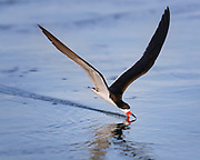 A black skimmer feeds by dragging his lower mandible through the water to catch fish.