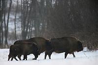 Wisent (Bison bonasus), the Carpathians; Carpathian Mountains; Bieszczady Mountains; Poland