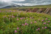 A field of fireweed (Chamerion angustifolium) blooms in the Alaska landscape - Katmai, Alaska