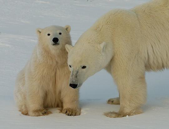 Polar Bear (Ursus maritimus) Mother with cub sitting near her. Churchill, Manitoba. Canada. Winter.