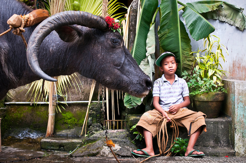 LUCBAN (Philippines). 2009. Boy caring a karabao at the Pahiyas Festival in Lucban.